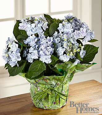 The FTD&reg; Perfect in Periwinkle Angel's Parasol Hydrangea by Better Homes and Gardens&reg;