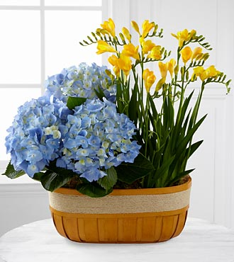 FTD Flowers Sunlit Skies Hydrangea & Freesia Plant Duo by Better Homes and Gardens