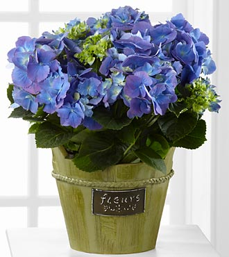Blue Beauty Hydrangea - BEST