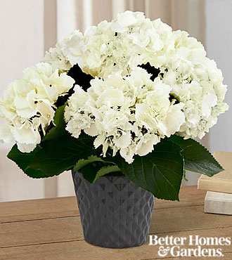 The FTD&reg; Ivory Illuminations Hydrangea Plant by Better Homes and Gardens&reg; - 4.5-inch