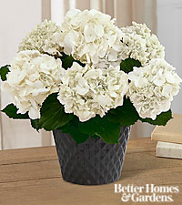 The FTD ® Ivory Illuminations Hydrangea Plant by Better Homes and Gardens ® - 6.5-inch
