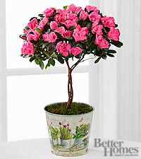 The Better Homes and Gardens ® Heart 's Opening Azalea Topiary