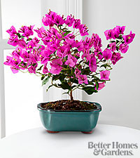 The FTD&reg; Rare Beauty Bougainvillea Bonsai by Better Homes and Gardens&reg; - 10-inch - Better