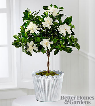 The FTD&reg; Blooming Tranquility Gardenia Plant by Better Homes and Gardens&reg;