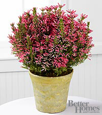 The FTD ® Lasting Impressions Pink Heather Plant by Better Homes and Gardens ®