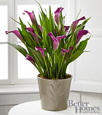 The FTD&reg; Lovely Life Calla Lily Plant by Better Homes and Gardens&reg;