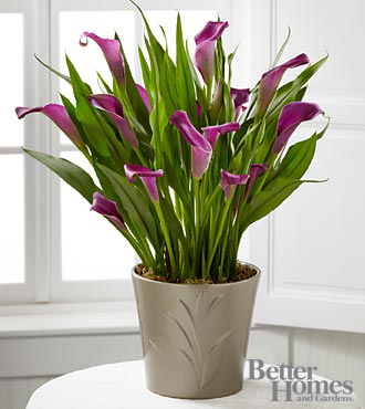 The FTD® Lovely Life Calla Lily Plant by Better Homes and Gardens®