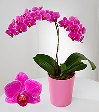 Smithsonian Stunning Sophistication Phalaenopsis Orchid