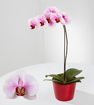 Smithsonian Love's Patience Phalaenopsis Orchid