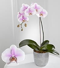 Smithsonian Truth's Beauty Phalaenopsis Orchid