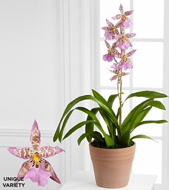 Smithsonian Serenity's Path Miltonia Orchid