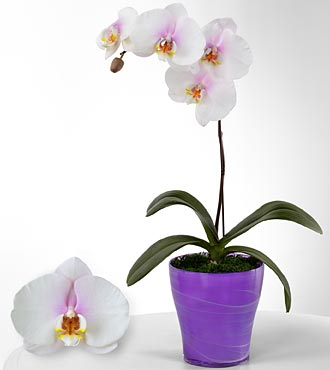 Smithsonian True Inspirations Phalaenopsis Orchid