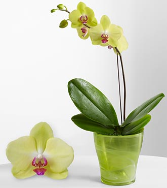 Smithsonian Bright Boost Phalaenopsis Orchid with FREE Smithsonian Tote