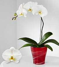 Smithsonian Vivid Insights Phalaenopsis Orchid