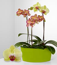 Smithsonian Happy Hues Phalaenopsis Orchids
