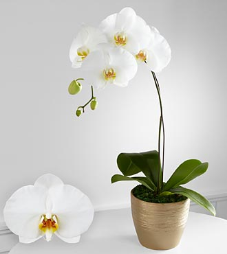 Smithsonian Graceful Greetings Phalaenopsis Orchid
