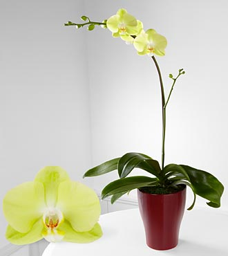 Smithsonian Spark of Happiness Phalaenopsis Orchid