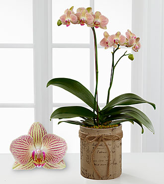 Smithsonian Hopeful Tomorrows Phalaenopsis Orchid