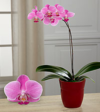 Dream 's Discovery Phalaenopsis Orchid