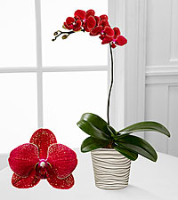Smithsonian American Heritage Phalaenopsis Orchid