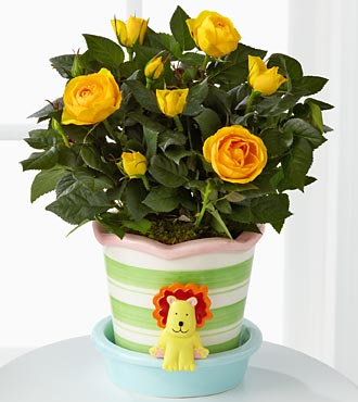 Little Lion New Baby Mini Rose