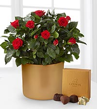 Sheer Elegance Mini Rose Plant & Godiva ® Chocolates - 6.5-inch