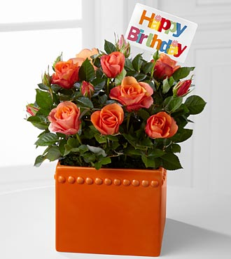 Blast of Orange Happy Birthday Mini Rose Plant