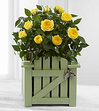 Garden Gate Mini Rose Plant - GOOD