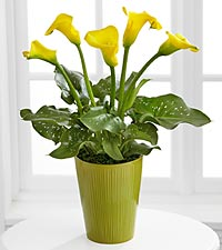 Radiant Calla Lily Plant