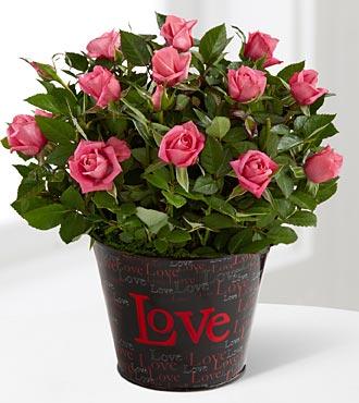 Love Rush Valentine's Day Mini Rose