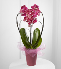 Timeless Romance Valentine 's Day Orchid Plant
