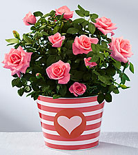 So Sweet Valentine 's Day Mini Rose