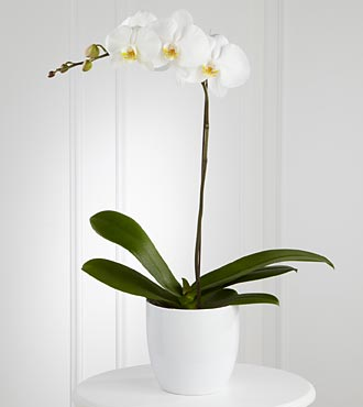 The FTD&reg; White Orchid Planter