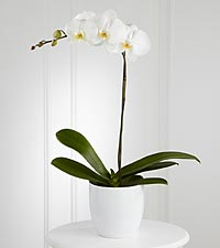 The FTD &reg; White Orchid Planter