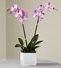 The FTD ® Pink Orchid Planter