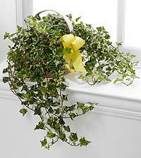 The FTD &reg; Solace&trade; Ivy Planter