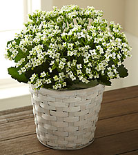 The FTD ® White Kalanchoe