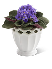 African Violet
