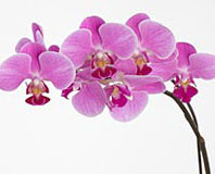 Smithsonian Dream Discovery Phalaenopsis Orchid