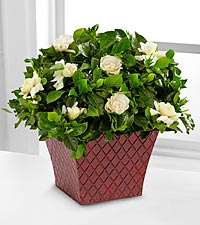 Fresh Looks Gardenia Plant