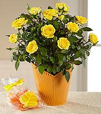 Autumn Shine Mini Rose Plant