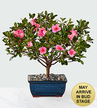 Blooming Azalea Bonsai
