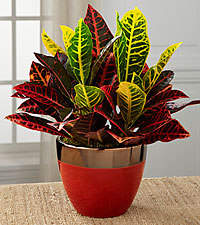 Pure Autumn Croton Plant