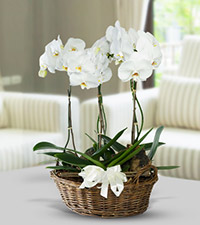 Orchieds in Basket