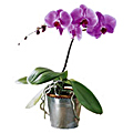 The FTD® Phalaenopsis Orchid Plant