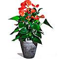 Single Plant Anthurium