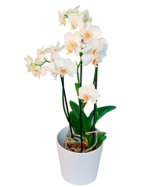 Orchid Plant + a Protective Pot