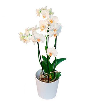 Orchid Plant + a Protective Pot