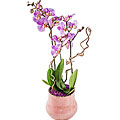 Decorated Orchid -Planting