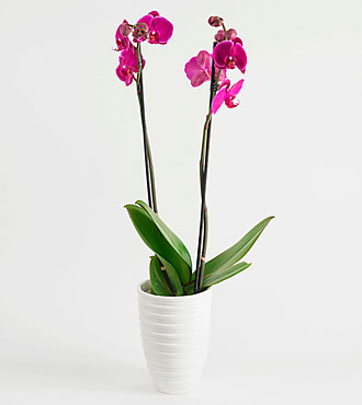 Cerise Orchid in a White Pot